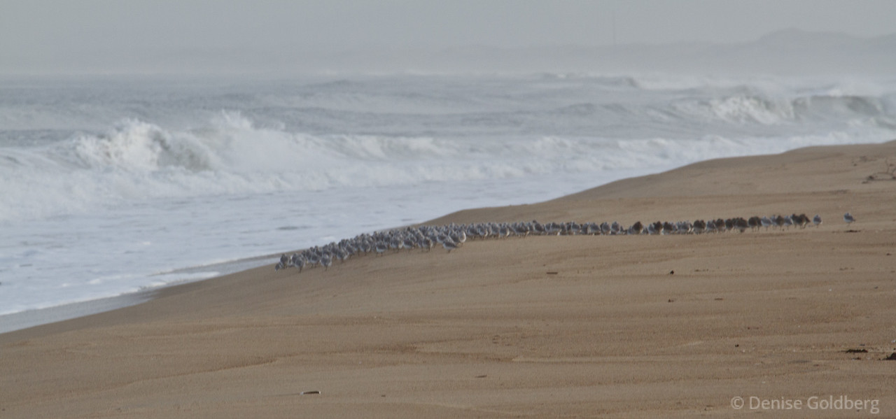 sanderlings line the sand, facing crashing waves