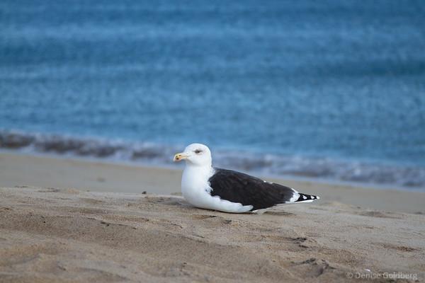 sea gull resting