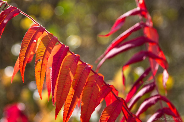 sumac showing a touch of red