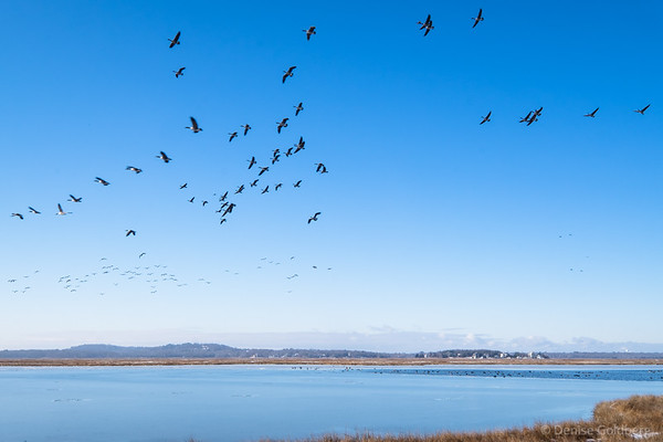 Canada Geese, flying high