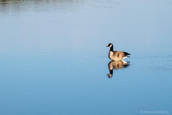 reflection, Canada goose
