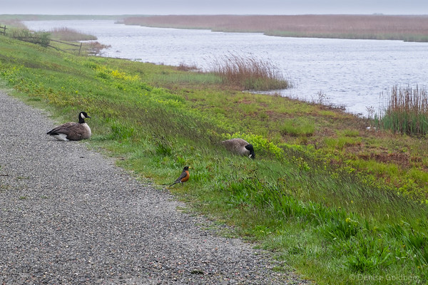 2 Canada Goose and a robin