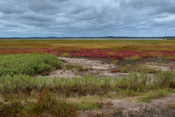 glasswort, in the salt marsh at Parker River National Wildlife Refuge