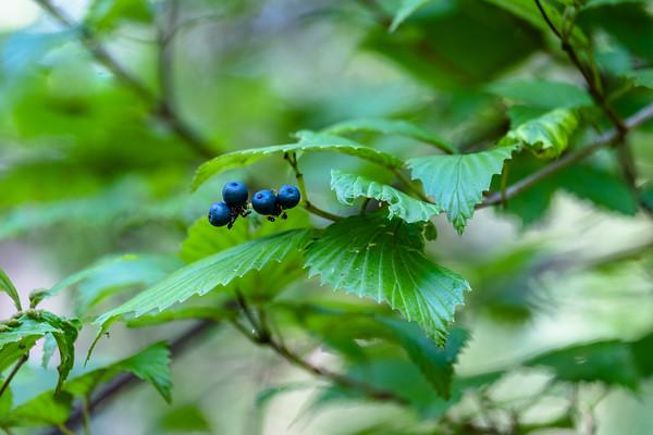 green leaves, blue berries