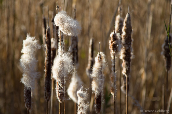 cattails gone to seed