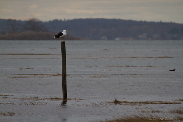 sea gull atop a pole