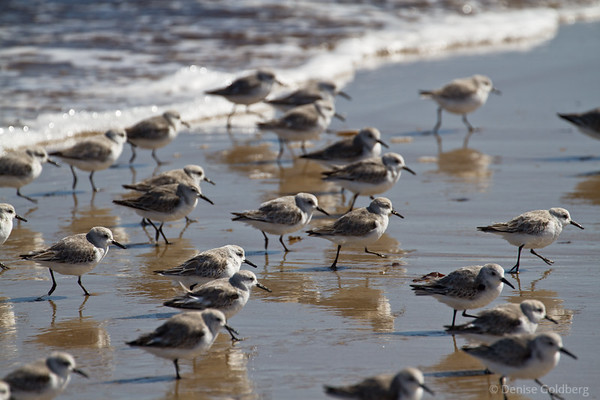 a gaggle of sanderlings, skittering