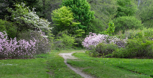 azalea in bloom, Maudslay State Park
