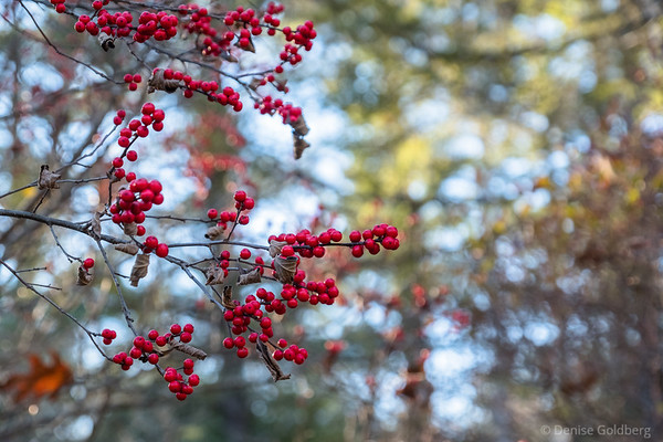 a pop of red berries, in Maudslay State Park