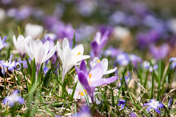 a sea of crocus