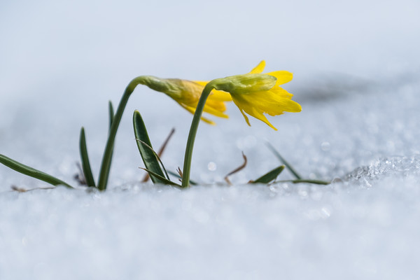 miniature daffodils emerging from snow
