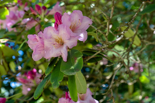 rhododendron at Maudslay