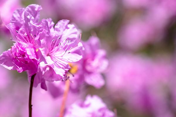 azaleas in pink