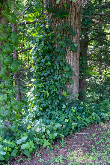 a tree covered in ivy, a sea of green