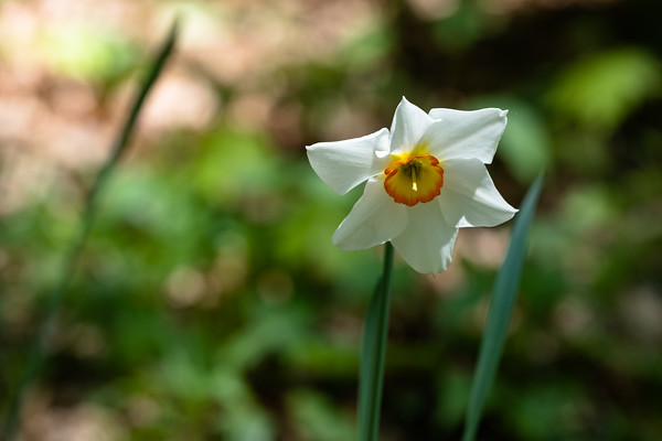 poet's narcissus (daffodil)