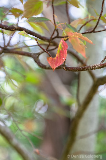 leaf wearing red