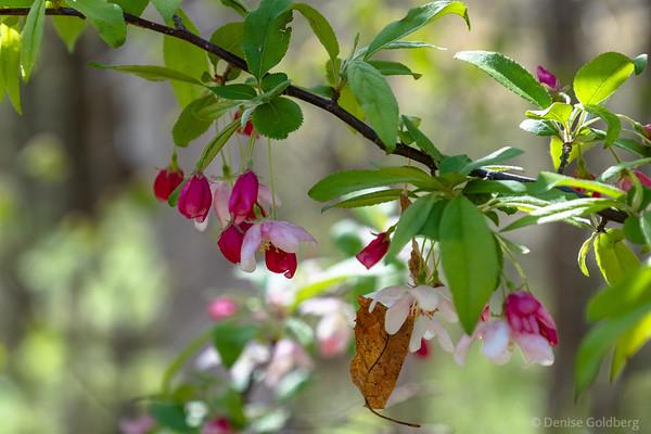 flowering trees, Maudslay State Park