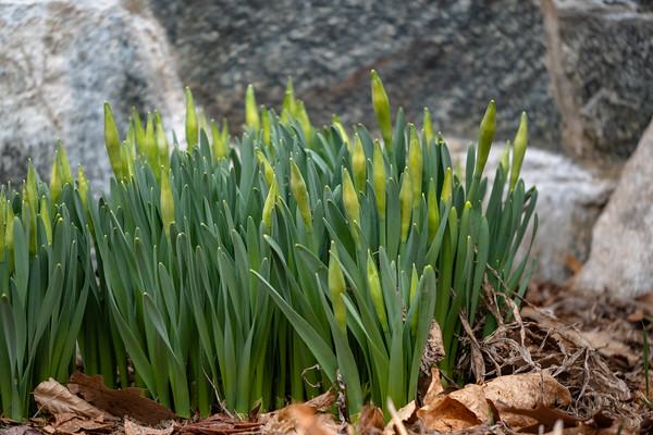 daffodils soon to bloom