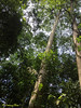 Tualang tree. Couldn't really spot the honey repositories.