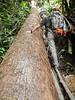 Huge fallen tree.