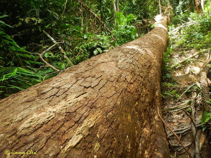 The fallen tree.