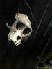 Skull that belongs to the macaque.