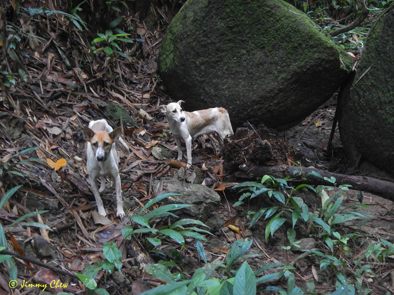 Anjing Asli - they can lead you only to first falls Jeram Antu. Second falls Jeram Enchau.