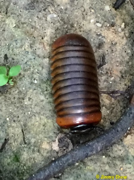 Very rarely we can see a pill millipede here in KDCF. I see them mostly at Gunung Cantik.