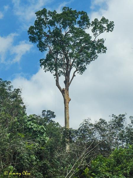 Tualang tree.
