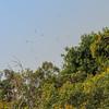 Raptors riding on thermals for lift.<br /> <br /> #CapeRachado #TanjungTuan<br /> #RaptorWatch<br /> #raptor