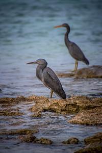 Black Egrets
