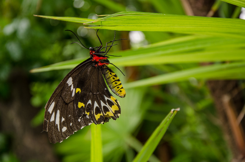 Niagara Falls Butterfly