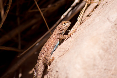 Western Fence Lizard. Notice the beautiful blue belly scales.