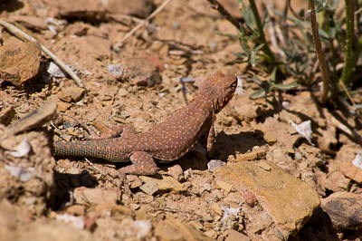 Side-blotched lizard.