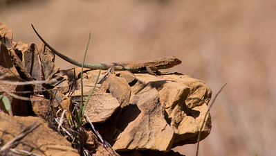 A very colorful Side-Blotched Lizard.
