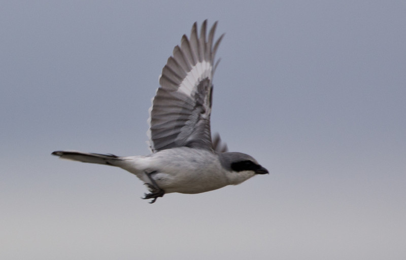My first real bird-in-flight shot, which was actually accidental. The little guy took off while I was capturing at high-speed and this showed up at the edge of the frame.