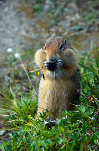 Arctic Ground Squirrel, Denali NP, AK