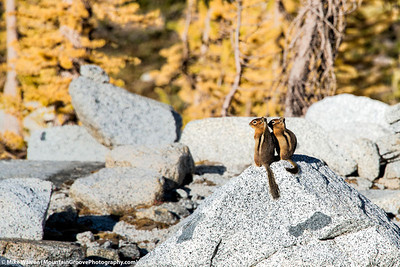 Chipmunk buddies, Enchantments, WA