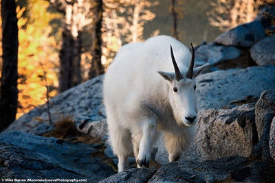 Mountain Goat, Enchantments, WA