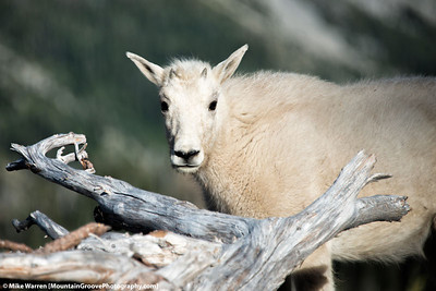 Mountain Goat, Ingalls Lake, WA