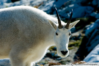Mountain Goat, Alpine Lakes Wilderness, WA