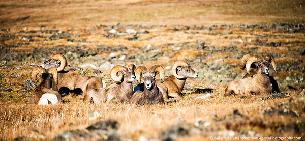 Big Horn Sheep, RMNP
