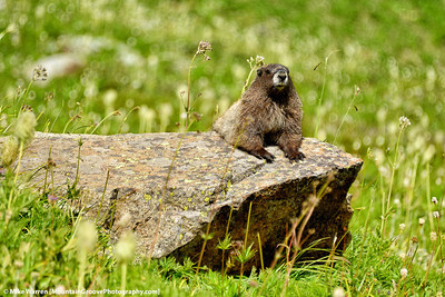 Marmot, Lyman Lakes, WA
