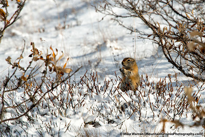 Arctic Ground Squirrel, Denali National Park, AK