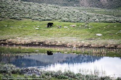 Bear reflected, Yellowstone National Park