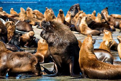 Sea Lions, Peninsula Valdes, Patagonia, Argentina