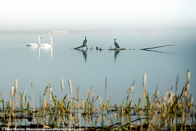 Swans and Herons, Pablo Wildlife Refuge, MT