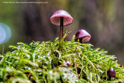 Mushrooms on a log, Federation Forest, WA