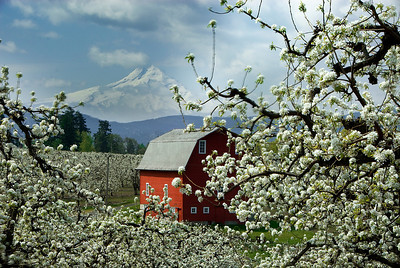 Pear tree blossums and Mt. Hood, Columbia River Gorge, OR