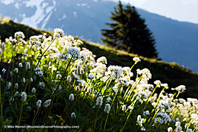 Mountain Wildflowers, North Cascades National Park
